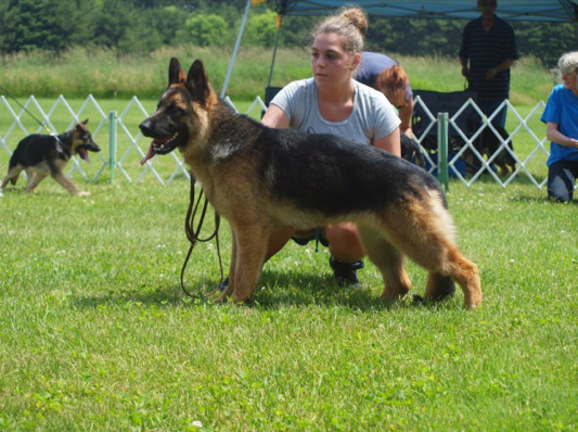 Buy German Shepherd Puppies