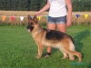 German Shepherds Puppies 16
