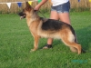 German Shepherds Puppies 17