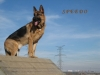 German Shepherds Puppies 11