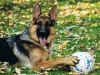 German Shepherds Puppies 15
