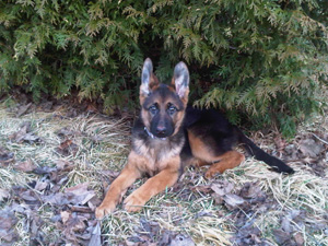 Buy German Shepherd Dogs Toronto